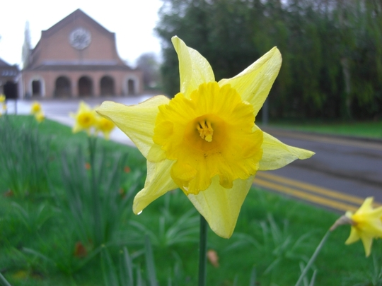 Daffs at Mum's resting place 100409