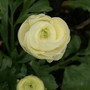 Magic Mix (Ranunculus aconitifolius (Aconite Leaved Buttercup))