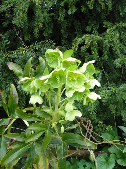 Helleborus argutifolius viridis (Helleborus argutifolius (Corsican hellebore))