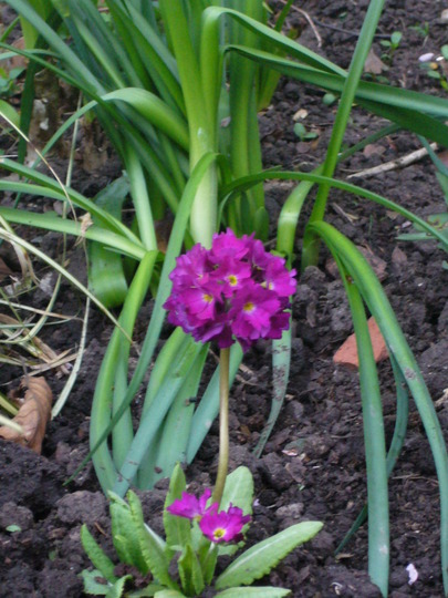P.denticulata rubra (Primula denticulata)