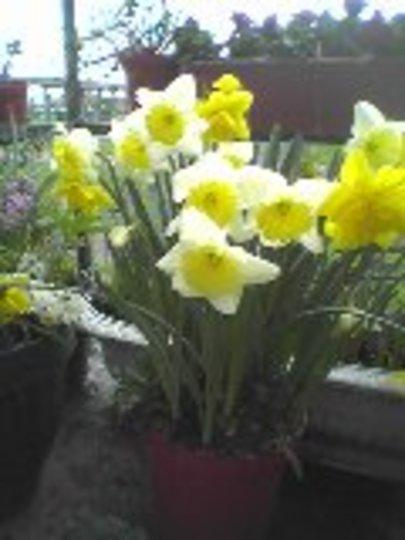 Daffodil (Daffodil)