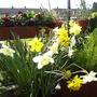 Daffs_on_balcony_03_04_05_003