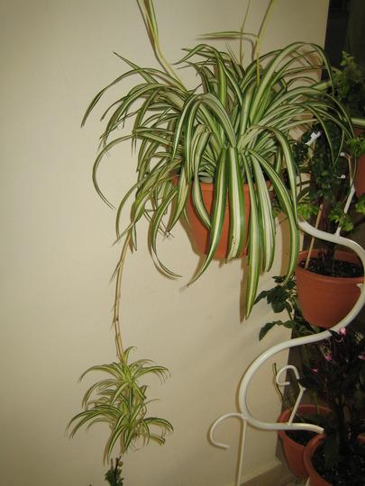 Spider plant (Chlorophytum comosum (Spider plant))