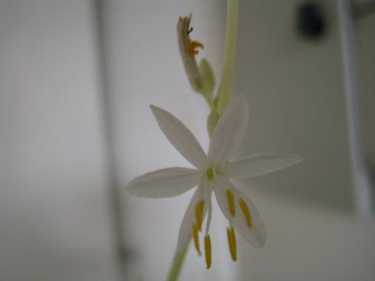 Close up of Spider plant flower (Chlorophytum comosum (Spider plant))