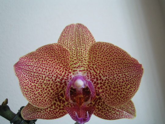 Close up of the Moth Orchid