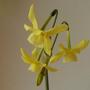 Narcissus_hawera