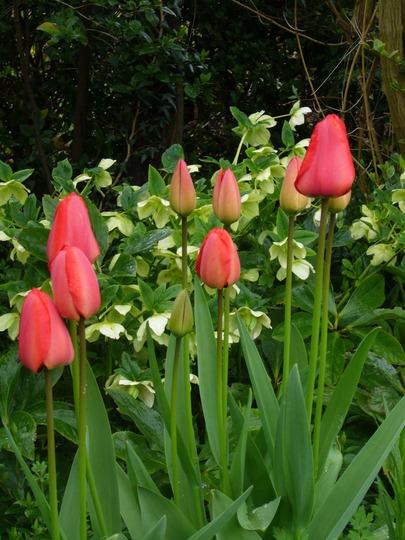 red apledorn