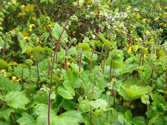 Tellima grandiflora rubra (Tellima grandiflora (Fringe cups))