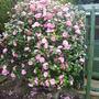 Angela's camellia