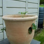 Strawberry pot.