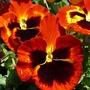 we say: stepmother (Viola wittrockiana)