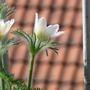 "little beauties in their ""fur"" (Pulsatilla vulgaris (Pasque flower))"