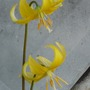 trout-lily (Erythronium pagode)