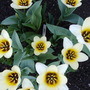 TULIPS ( UNKNOWN )