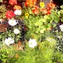 Cosmos_on_balcony_20-09-08_002.jpg