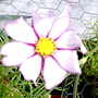 Cosmos_white_with_pink_borders_on_balcony_14_08_08_006