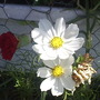 Cosmos___White__on_balcony_26-07-08_006.jpg