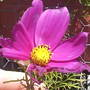 Cosmos__Deep_pink___Very_close_up__on_balcony__21-07-08_001.jpg