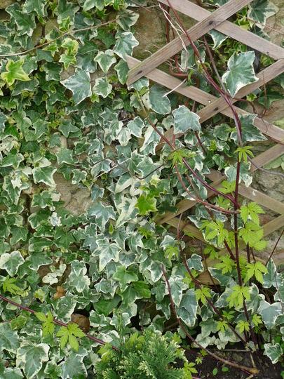 Golden Hop and Variegated Ivy (Humulus lupulus (Golden Hop))