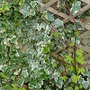 Golden Hop and Variegated Ivy (Humulus lupulus (Golden Hop))