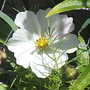 Cosmos__White___Close_up__on_balcony__21-07-08_001.jpg