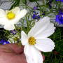 Cosmos__White__Close_up_on_balcony_20-08-08_009.jpg