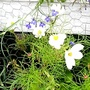 Cosmos__White__on_balcony_20-08-08_001.jpg