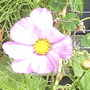 Cosmos_on_balcony__14-08-08_005.jpg