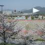 Yoshino cherry (and soccer stadium - 2) (prunus X yedoensis Matsum cv Yedoensis)