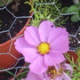 Cosmos__Deep_Pink__on_balcony_26-07-08_003.jpg