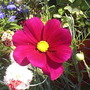 Cosmos__Deep_red__on_balcony_002.jpg