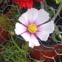 Cosmos__Pale_Lilac___Deep_Pink__on_balcony_003.jpg