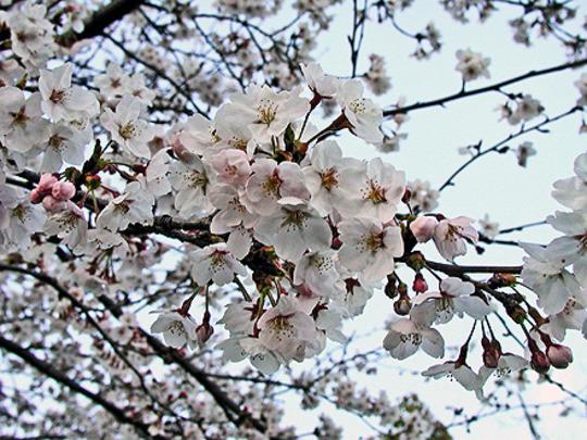 Yoshino cherry - 1 (Prunus X yedoensis Matsum cv Yedoensis)