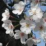 Yoshino cherry - 2 (Prunus X yedoensis Matsum cv. Yedoensis)