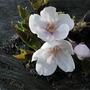 Yoshino cherry - 3 (Prunus X yedoensis Mastum cv. Yedoensis)