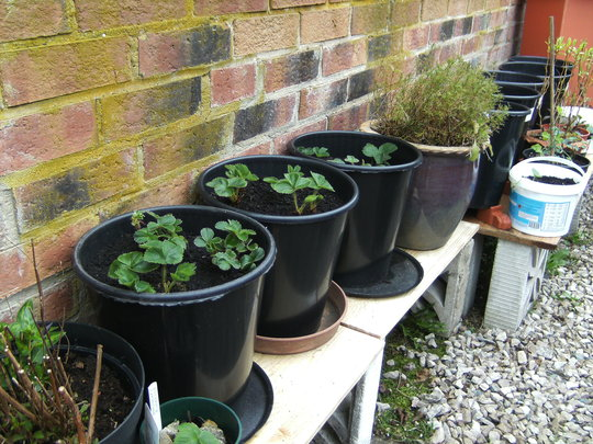 Strawberries, 3 large pots..