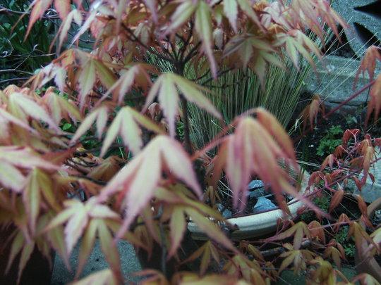 Bonsai Acer. (Acer)
