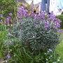 Bowles Mauve, Easter 09 (Bowles mauve)