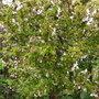 Cherry tree in blossom, my garden 11.4.09 (Cherry Tree)