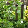 Flowering Current (flowering current)