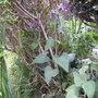 More Honesty (Lunaria annua (Honesty))
