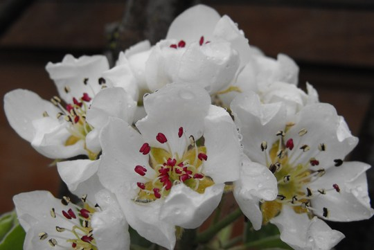 Pear Blossom close up..........