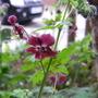 "Geranium Phaeum Samobor ""Dusky Cranesbill"" (Geranium phaeum (Mourning widow))"