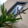 Cordyline stricta -  Lily Palm (Cordyline stricta -  Lily Palm)