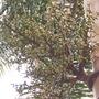 Wodyetia bifurcata - Foxtail Flowers and Fruit (Wodyetia bifurcata - Foxtail Flowers and Fruit)