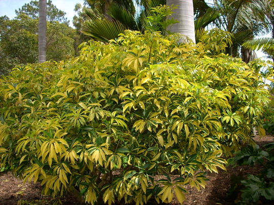 Schefflera arboricola 39 variegata 39 grows on you - Schefflera variegata ...