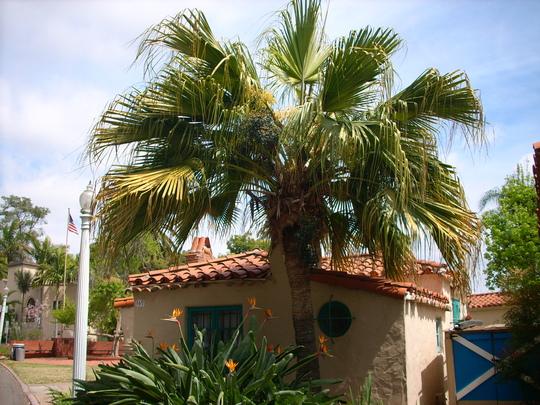 Livistona chinensis - Chinese Fountain Palm (Livistona chinensis - Chinese Fountain Palm)