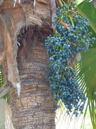 Livistona chinensis - Chinese Fountain Palm Seeds (Livistona chinensis - Chinese Fountain Palm Seeds)