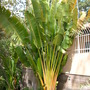 Ravenala madagascariensis - Traveller&#x27;s Palm (Ravenala madagascariensis - Traveller&#x27;s Palm)