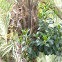 Buta capitata - Jelly Palm  (Buta capitata - Jelly Palm)